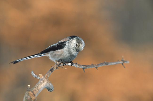 Codibugnolo (Aegitholos caudatus)