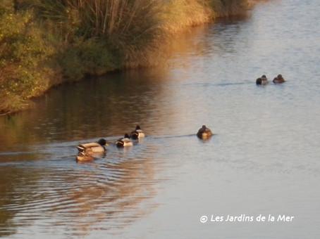 Depuis quelques semaines, les canards ont pris leur quartiers d'hiver sur la grande lagune