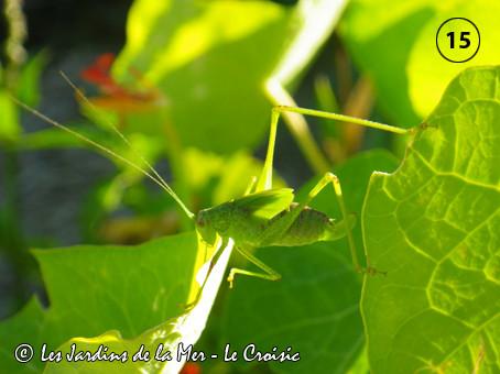 Exercice d'équilibre entre deux feuilles de capucine pour cette sauterelle
