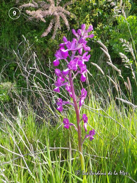 L'orchidée bouffon (Anacamptis morio) pousse sur les talus de la saline