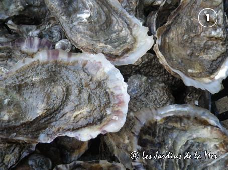 """Bordée d'une """"dentelle"""" bien visible, la coquille de ces huîtres creuses témoigne d'une bonne croissance (décembre 2012)"""