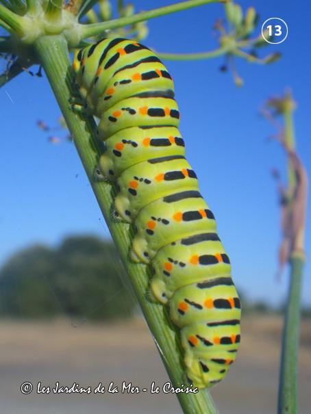 Une chenille de machaon (Papilio machaon) sur une branche de fenouil