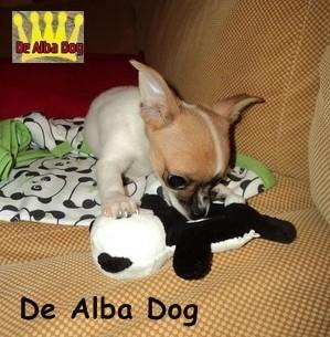 Foto de perro cachorro de raza chihuahua macho de pelo corto de color blanco y rojo de los criadores de chihuahua con afijo De Alba Dog de Valencia, Comunidad Valenciana, España, venta de chihuahuas, cachorros chihuahua de pelo corto y largo en venta