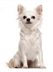 Foto de perro adulto de raza chihuahua de color blanco y pelo largo