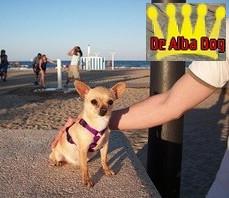 Foto perro de raza chihuahua hembra adulta pelo corto y color dorado, de los criadores de chihuahuas De Alba Dog en Valencia (España), venta de chihuahuas; cachorros de chihuahua de pelo corto y pelo largo con afijo y pedigree