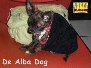 Foto de perro raza chihuahua, sexo macho, pelo largo, color atigrado, propiedad de los criadores de chihuahuas De Alba Dog en Valencia (España), venta de chihuahuas; cachorros chihuahua de pelo corto y largo con pedigree y afijo