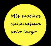 Chihuahuas machos pelo largo