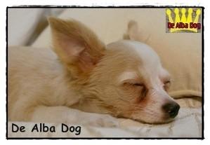 Foto cachorro chihuahua hembra de color blanco y crema y pelo largo de los criadores de perros de raza chihuahua De Alba Dog, venta de cachorros chihuahua de pelo corto y largo con pedigree y afijo en Valencia, Comunidad Valenciana, España
