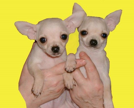 Foto de perros de raza chihuahua de color crema y pelo corto