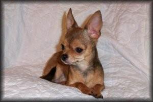 Foto perro de raza chihuahua de color sable y pelo corto