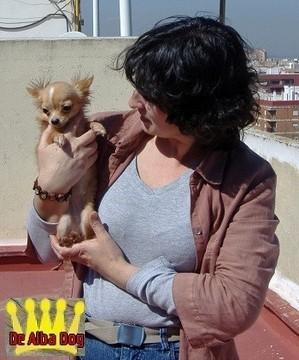 Foto perro de raza chihuahua hembra de pelo largo, propiedad de los criadores de chihuahuas De Alba Dog en Valencia (España), venta de chihuahuas; cachorros chihuahua de pelo corto y largo con afijo y pedigree