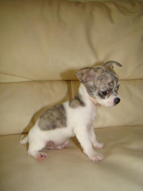 Foto de perro de raza chihuahua cachorro de color blanco/atigrado y pelo corto