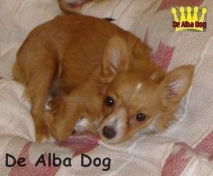 Foto de perro adulto, de raza chihuahua, sexo macho, pelo largo, bicolor, propiedad de los criadores de chihuahuas De Alba Dog en Valencia (España), venta de chihuahuas; cachorros chihuahua de pelo corto y largo con pedigree y afijo