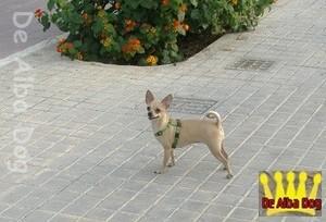 Hembra adulta de chihuahua pelo corto color cervato, propiedad de los criadores de chihuahua De Alba Dog en Valencia (España). Venta de chihuahuas; cachorros chihuahua de pelo corto y largo.