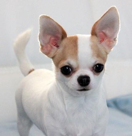 Foto de perro raza chihuahua de color blanco y rojo de pelo corto