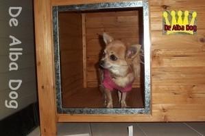 Foto perro de raza chihuahua hembra adulta de pelo largo, propiedad de los criadores de chihuahuas De Alba Dog en Valencia (España), venta de chihuahuas; cachorros chihuahua de pelo corto y largo con afijo y pedigree