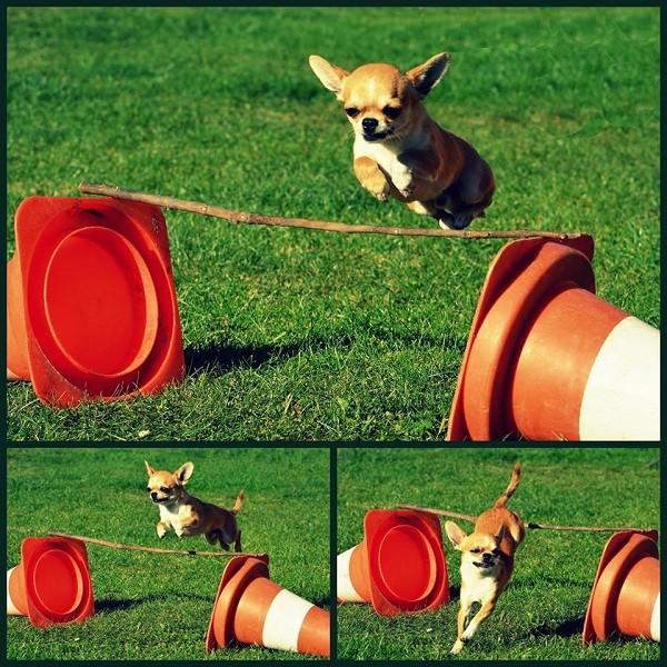 Foto perro raza chihuahua de pelo corto saltando obstaculos. Adiestramiento perros chihuahua. Adiestramiento canino chihuahua. Entrenamiento de perros en chihuahua. Adiestramiento para perros chihuahua.