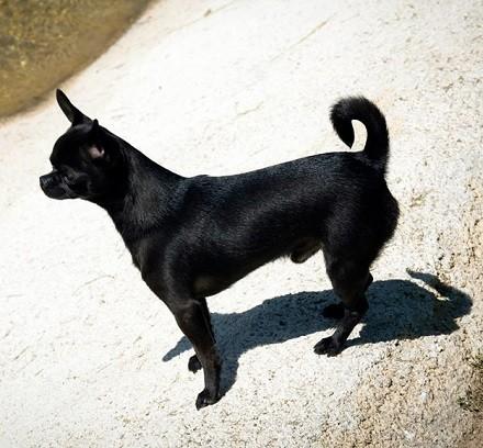 Foto de perro raza chihuahua adulto de color negro y pelo corto