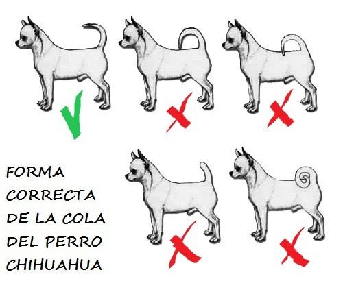Foto de perros de raza chihuahua; la forma correcta de la cola del chihuahua y formas incorrectas. Defectos cola del perro chihuahua. Como debe ser la cola del chihuahua. Como es la cola del chihuahua. El rabo del perro chihuahua.