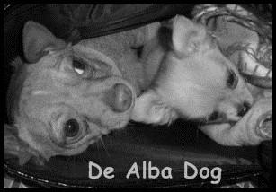 Foto de perros de raza chihuahua machos, uno de pelo largo y de color dorado y otro de pelo corto de los criadores de chihuahuas De Alba Dog de Valencia, Comunidad Valenciana, España, venta de chihuahuas, cachorros chihuahua de pelo corto y largo en venta