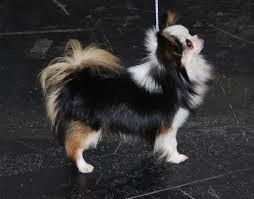 Foto de perro de raza chihuahua adulto de color negro, blanco y fuego de pelo largo