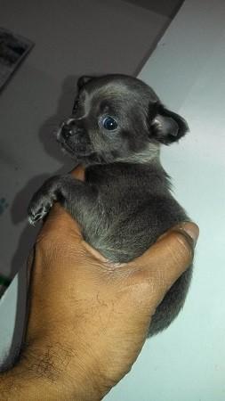 Foto de perro cachorro de raza chihuahua de color azul y pelo corto