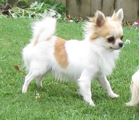 Foto de perro raza chihuahua de color blanco y rojo de pelo largo