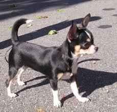 Foto de perro de raza chihuahua de color negro, blanco y fuego de pelo corto