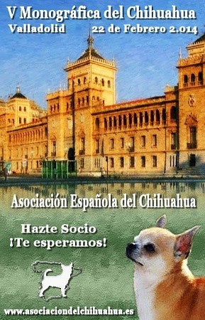 V Monografica del chihuahua febrero 2014 Valladolid, en la imagen perro de raza chihuahua de pelo corto