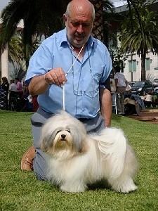 Imagen de raza de perro Bichon habanero
