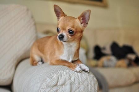 Foto perro adulto de raza chihuahua de color rojo y blanco de pelo corto