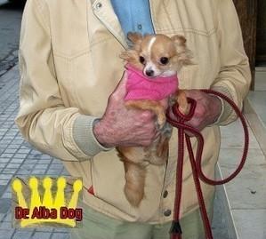 Foto perro adulto de raza chihuahua hembra, de pelo largo, propiedad de los criadores de chihuahuas De Alba Dog en Valencia (España), venta de chihuahuas; cachorros chihuahua de pelo corto y largo con afijo y pedigree