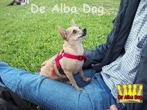 Hembra adulta de chihuahua, de pelo corto, de los criadores de chihuahua De Alba Dog en Valencia (España). Venta de chihuahuas; cachorros chihuahua de pelo corto y largo.