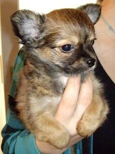 Foto de perro cachorro de raza chihuahua de color sable y pelo largo