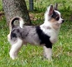 Foto perro adulto de raza chihuahua de color merle y pelo largo
