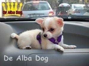 Foto perro de raza chihuahua hembra, de pelo largo, propiedad de los criadores de chihuahuas De Alba Dog en Valencia (España), venta de chihuahuas; cachorros chihuahua de pelo corto y largo con afijo y pedigree