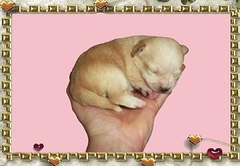 Foto perro de raza chihuahua macho de pelo corto de color dorado de los criadores de chihuahuas con afijo De Alba Dog de Valencia, Comunidad Valenciana, España, venta de chihuahuas, cachorros chihuahua de pelo corto y largo en venta con pedigree