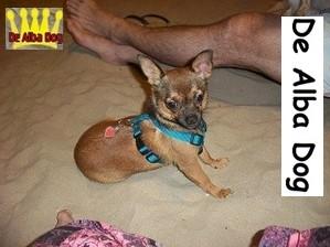 Foto perro de raza chihuahua, hembra adulta de pelo corto, propiedad de los criadores de chihuahua en Valencia (España), venta de chihuahuas; cachorros chihuahua de pelo corto y largo con pedigree y afijo