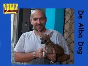 Foto cachorro chihuahua macho de color atigrado y pelo corto de los criadores de perros de raza chihuahua De Alba Dog, venta de cachorros chihuahua de pelo corto y largo con pedigree y afijo en Valencia, Comunidad Valenciana, España