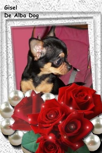 Foto cachorro de perro raza chihuahua hembra, pelo corto, color negro-fuego, propiedad de los criadores de chihuahuas con afijo De Alba Dog en Valencia (España), venta de chihuahuas; cachorros chihuahua de pelo corto y largo con pedigree