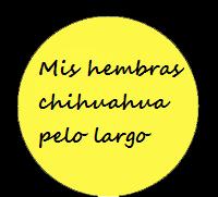 Chihuahuas hembras pelo largo