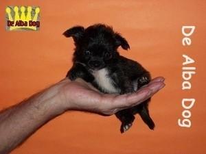 Foto de perro cachorro, de raza chihuahua, sexo macho, pelo largo, color atigrado, propiedad de los criadores de chihuahuas De Alba Dog en Valencia (España), venta de chihuahuas; cachorros chihuahua de pelo corto y largo con pedigree y afijo