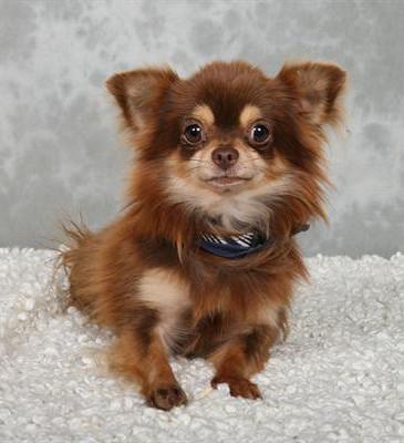 Foto de perro adulto de raza chihuahua de color chocolate y fuego de pelo largo
