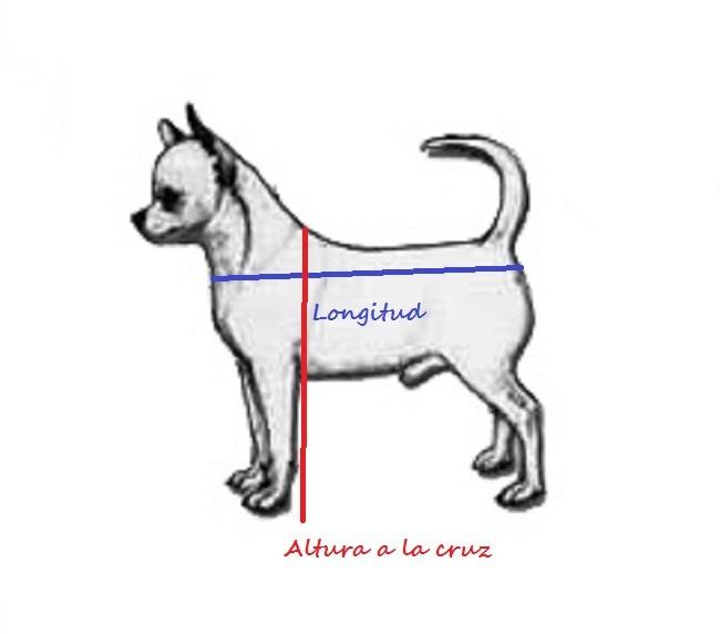 Imagen de perro de raza chihuahua; altura a la cruz y longitud del chihuahua. Altura del chihuahua. Altura del perro chihuahua. Peso y altura del chihuahua. Altura del perro chihuahueño.