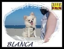Chihuahua hembra pelo largo de color blanco de los criadores de chihuahuas De Alba Dog en Valencia (España)