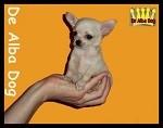 Foto cachorro chihuahua hembra de pelo corto de los criadores de chihuahua De Alba Dog en Valencia (España), venta de chihuahuas; cachorros chihuahua de pelo corto y largo con afijo y pedigree
