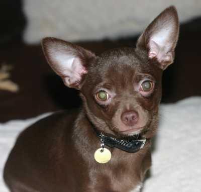 Foto de perro de raza chihuahua de color chocolate y pelo corto
