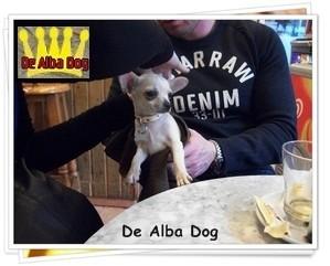 Foto de perro de raza chihuahua macho de pelo corto de color blanco y crema de los criadores de chihuahua con afijo De Alba Dog de Valencia, Comunidad Valenciana, España, venta de chihuahuas, cachorros chihuahua de pelo corto y largo en venta