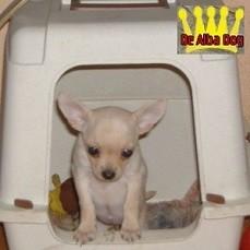 Foto cachorro chihuahua hembra pelo corto, propiedad de los criadores de chihuahuas De Alba Dog en Valencia (España), venta de chihuahuas; cachorros chihuahua de pelo corto y pelo largo con afijo y pedigree