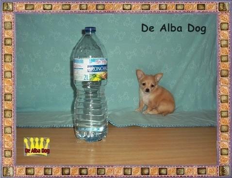 Foto perro de raza chihuahua cachorro hembra, de pelo largo propiedad de los criadores de chihuahuas De Alba Dog en Valencia (España), venta de chihuahuas; cachorros chihuahua de pelo corto y largo con afijo y pedigree
